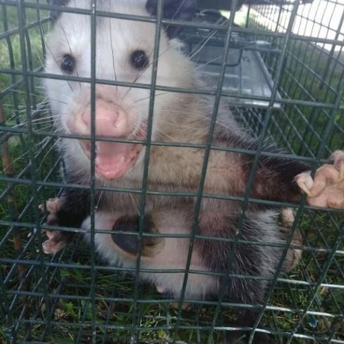 opossums-removal