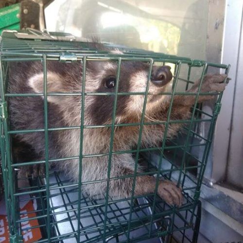 raccoon-removal